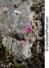 Pink Daisy growing out of a stone wall
