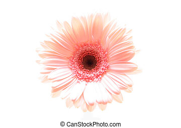 pink daisy macro shot highkey and isolated over white. focus on center.