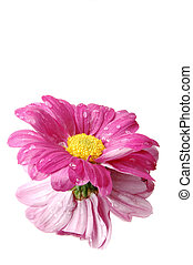 Pink daisy with it's reflection - A vibrant pink daisy with...