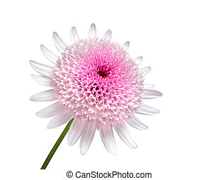 Pink Daisy with large center flower Isolated on white...