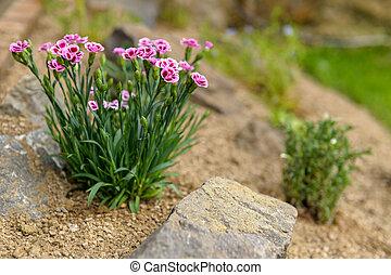Pink dianthus alpine flower planted in a rockery garden. Rock garden plant close up.