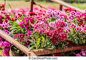 Pink Dianthus flower (Dianthus chinensis) in garden.