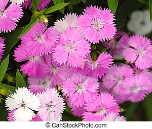 Pink Dianthus flower in garden