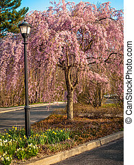 Pink Dogwood in Park - An ornamental pink dogwood tree in a...