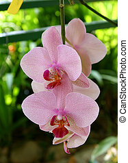 Phalaeonopsis orchids of dotted pink type