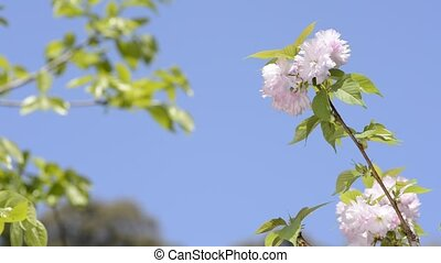 Pink double cherry blossoms in front of green leaves under...