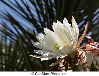 Pink Easter lily cactus