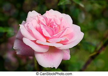 Pink English Roses on Blurred Rose Garden Background.