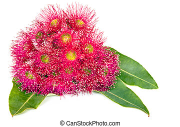 Pink Eucalyptus Flowers and Leaves isolated on White