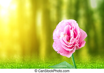 Pink Eustoma flower on the field