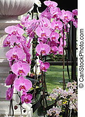 Pink Farland orchid in the garden background