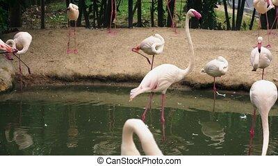 pink flamingo closeup on pond. blurred background.