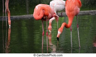 Greater flamingo, Phoenicopterus roseus group greater flamingo's by the lake