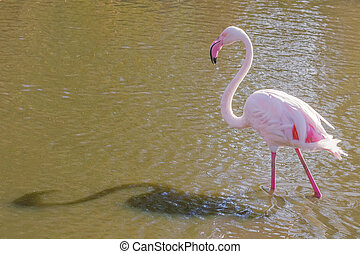 Pink Flamingo, Greater flamingo in their natural environment (Phoenicopterus roseus)