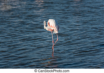Pink flamingo in the wild. Camargue, France