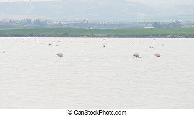 Pink Flamingo on salt Lake in Cyprus - Pink Flamingo on Lake...