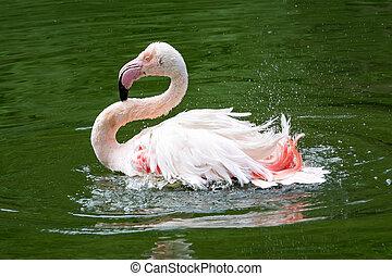 Pink flamingo (Phoenicopterus roseus) bathing