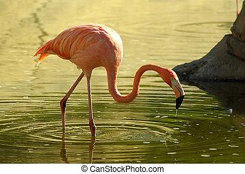 Pink flamingo - Flamingo at nationl park in Tunisia, Africa