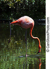 Pink flamingo standing on one leg, Dominican Republic.