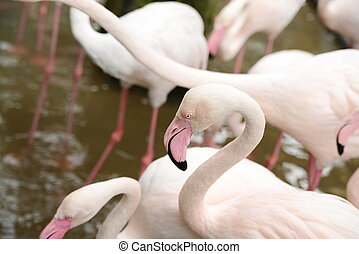 Pink flamingoes walking at zoopark in Thailand