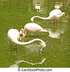 Pink flamingos are standing in the water