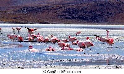 Pink flamingos at exciting lagoon in Bolivia - Pink...