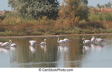 pink flamingos family cools in the middle of the swamp water 1