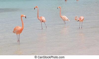 Pink flamingos on the beach - Pink flamingos on the Aruba...