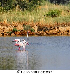 pink flamingos with long neck in the fresh water pond
