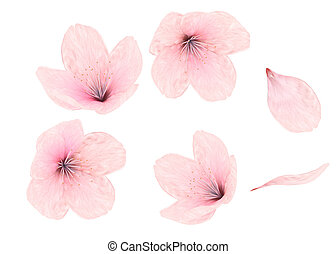 Pink flower and petals on white background