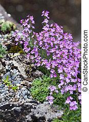 pink flower and rock,  saxifrage and erinus alpinus