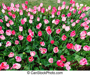 Pink flower bed of tulips with blac