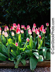 Pink flower bed of tulips