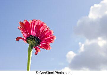 Pink flower bloom closeup on background blue sky