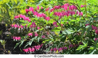 Pink flower Dicentra trembling on the wind on sunny day