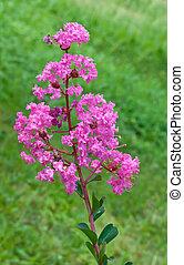 pink flower in garden.