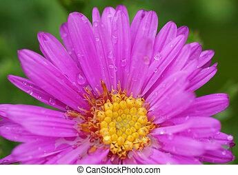 Pink flower in the garden.