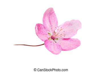 Pink flower isolated on white