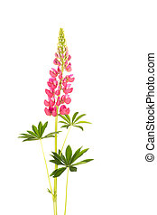 lupine pink flower with green leaves on a white background