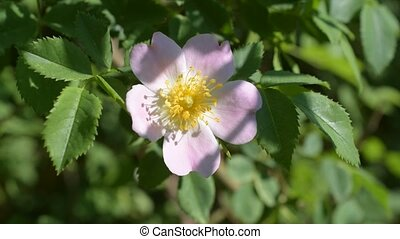 Pink flower of a dog rose on green background pink flower....