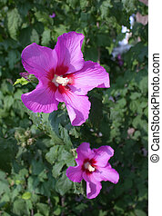 Pink flower of a hibiscus