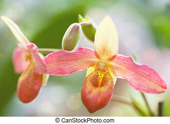 Pink flower of an orchid of Paphiopedilum close up