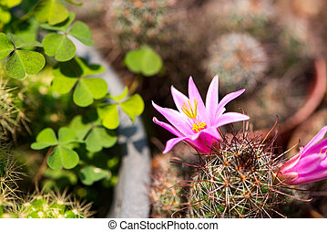 Pink flower of cactus