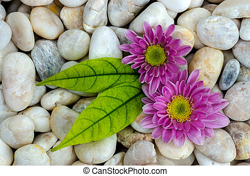 Pink flower of Chrysanthemum and white stones.