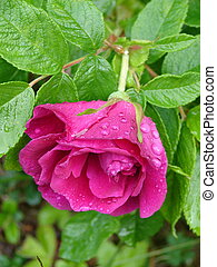 Pink flower of dogrose with dew drops