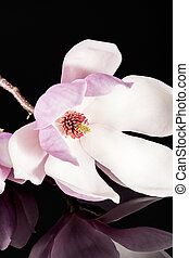 Pink flower of magnolia isolated on black background