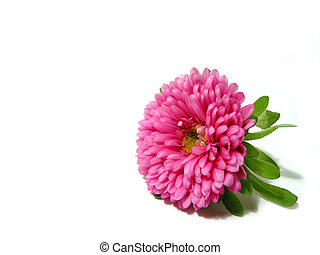 Pink flower on white background - Pink aster flower isolated...