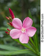 Pink flower or Oleander flower in the garden