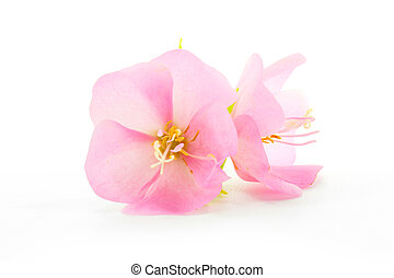 Pink flower Rose of Sharon (Hibiscus syriacus)