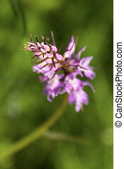 Pink flower Silene viscaria